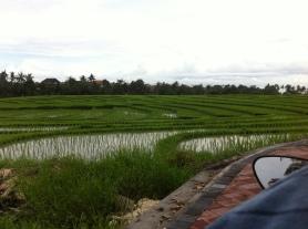 Ricefields, Canggu, Bali, Indonesia